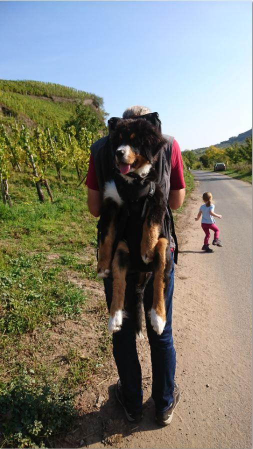 Als Hunderucksack – TESTSIEGER gibt es hier diesen Profi – Hunderucksack bzw. Rucksack für Hunde, zum Tragen von Hunden von 3 – 30kg, als MINI ( Ristlänge bis 35cm und von 3- 6kg),SMALL ( Ristlänge bis 42cm und von 5-10kg) ,BIG ( Ristlänge bis53cm und von 7-16kg),und XXL ( Ristlänge bis ca. 70cm und von 15-30kg)Darin können Sie Hunde verschiedenster Rassen mit einem Mindestgewicht von 3 kg bis ca. 30 kg Gewicht optimal tragen! Der MINI DogCarrier, der kleinste Hunderucksack, für Hunde von 3-6kg ist neu hinzugekommen. Der MINI – sowie der SMALL DogCarrier sind auch auf der Brust tragbar.