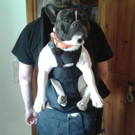 Bulldogge im Rucksack