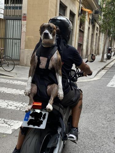 XXL DOG CARRIER PITBULL auf Motorrad mit dem patentierten Hunderucksack